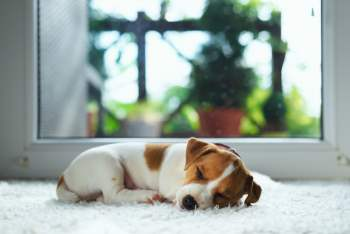 jack russel puppy on white carpet, Carpet Cleaning Jamboree Heights Company