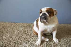 pet-british-bulldog-sitting-on-carpet after cleaning by Carpet Cleaning Mount Crosby